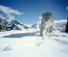 Chadar Trek- Frozen River Trek. Snow Leopard
